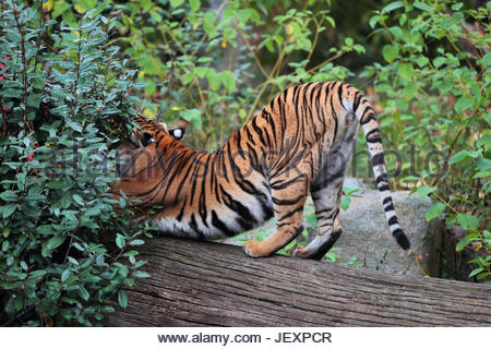 A captive Siberian or Amur tiger, Panthera tigris altaica, an endangered species, stretching. - Stock Photo