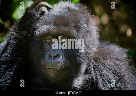 Silverback gorillas and family in the Virunga Mountains of Northern Rwanda, Africa. - Stock Photo