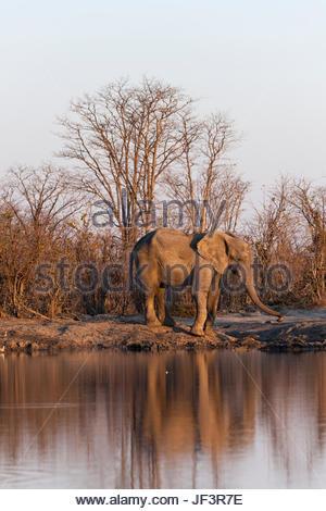 An African elephant, Loxodonta africana, at a waterhole. - Stock Photo