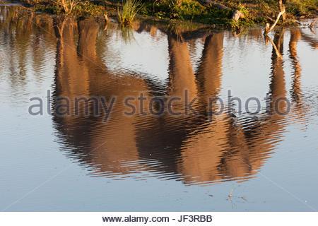 The reflection of an African elephant, Loxodonta africana, walking beside a waterhole. - Stock Photo