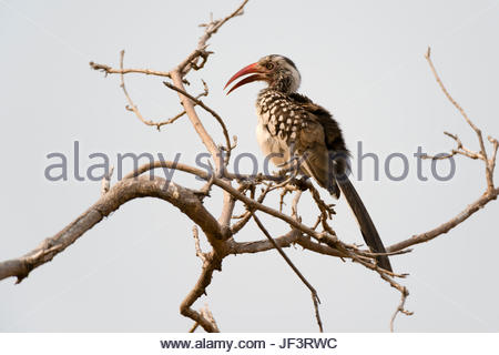 A southern red-billed hornbill, Tockus erythrorhynchus, perching on a tree branch. - Stock Photo