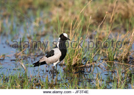 Portrait of a blacksmith lapwing, or blacksmith plover, Vanellus armatus, in a wetland. - Stock Photo