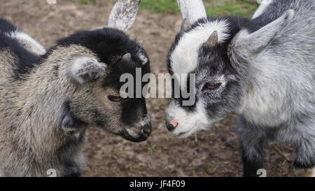 the humble goat - Stock Photo