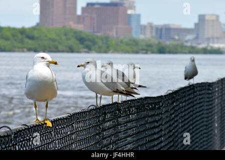 a flock of Seagulls sitting on the side of a fence with buildings in the background - Stock Photo