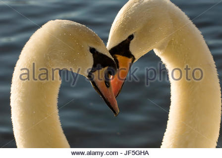 A pair of mute swans, Cygnus olor, engage in a courtship display. - Stock Photo