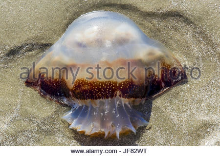 Jellyfish Washed Up On A Sandy Beach - Stock Photo