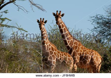Two reticulated giraffes, Giraffa camelopardalis reticulata, among thorny acacia trees. - Stock Photo