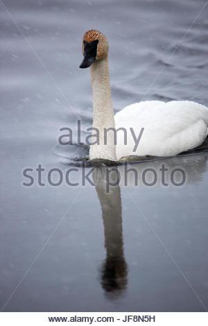 A tundra swan, Cygnus columbianus, swimming during a snow shower. - Stock Photo