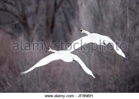 Two tundra swans, Cygnus columbianus, flying through wintry skies. - Stock Photo