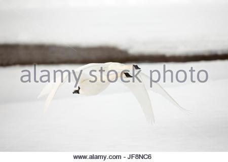 Two tundra swans, Cygnus columbianus, take flight. - Stock Photo