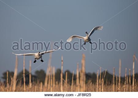 Two tundra swans, Cygnus columbianus, prepare to land at the water's edge. - Stock Photo