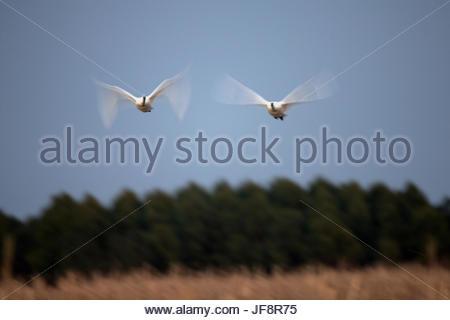 Two tundra swans, Cygnus columbianus, in flight. - Stock Photo