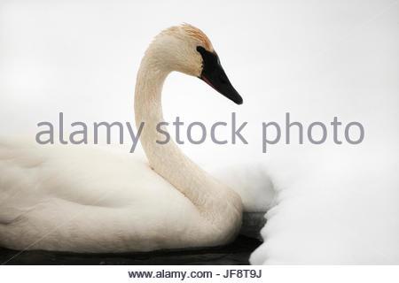 A tundra swan, Cygnus columbianus, swimming near a snowy bank. - Stock Photo