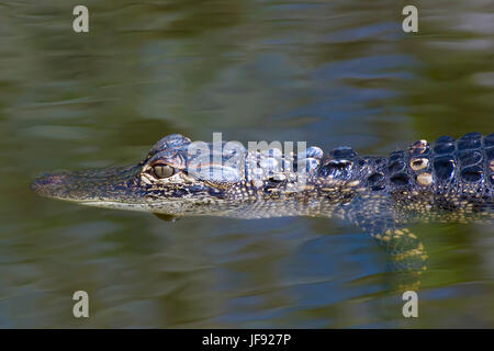 Just a baby alligator enjoying life in the Florida Everglades. It's a long and hard road to adulthood for baby alligators. - Stock Photo