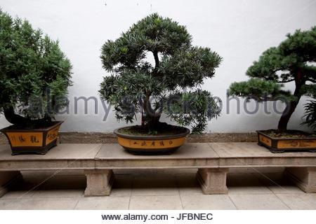 Bonsai tree in a garden inside the Jade Buddha Temple. - Stock Photo