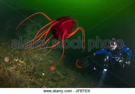 A technical diver observes a deep water helmet jellyfish, Periphylla periphylla, at a depth of 30 meters. The jellyfish - Stock Photo