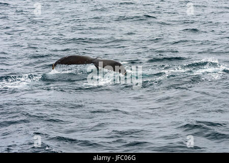 Tail of a humpback whale in Flinders Bay, off the coast of Augusta, Western Australia - Stock Photo