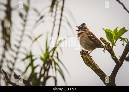 A rufous-collared sparrow in Machu Pichu, Peru - Stock Photo