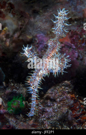 White and red ornate ghost pipefish (Solenostomus paradoxus) with coral reef background. Lembeh Straits, Indonesia. - Stock Photo