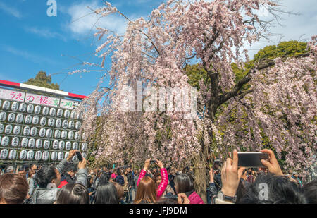Japan, Tokyo City, Ueno district, Ueno Park, Cherry blossoms - Stock Photo
