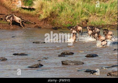 Masai Mara Park, Kenya, Africa A crocodile attacks a wildebeest while crossing a river in the Masai Mara - Stock Photo