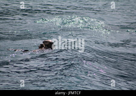 Sea Otters playing in open Alaskan water - Stock Photo
