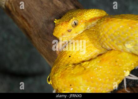 Eyelash Viper (Bothriechis schlegelii) on a tree branch - Stock Photo