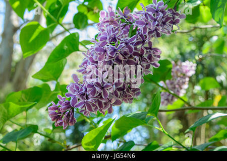 Close up of Lilac 'Sensation' flowers (Syringa vulgaris 'Sensation') - Stock Photo
