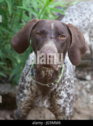 POINTER offen called the English pointer is a medium large-sized breed of dog for hunting birds. - Stock Photo
