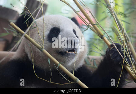 dpatop - One of the two panda pears from China sits and chews on bamboo during the opening of the new panda bear - Stock Photo
