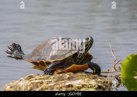 Florida red belly-jewellery tortoise, Pseudemys nelsoni, Florida-Rotbauch-Schmuckschildkröte (Pseudemys nelsoni) - Stock Photo