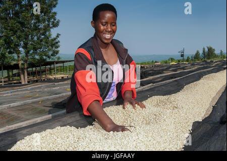 Rwandan woman drying coffee beans on custom made drying racks. Rwanda. - Stock Photo
