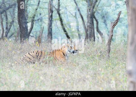Royal bengal tiger (Panthera tigris tigris) lying down in forest, Ranthambhore National Park, Rajasthan, India. - Stock Photo