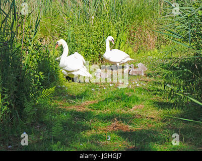 A view of a pair of Mute Swans, Cygnus olor, with cygnets in the Norfolk Broads National Park at Upton, Norfolk, - Stock Photo