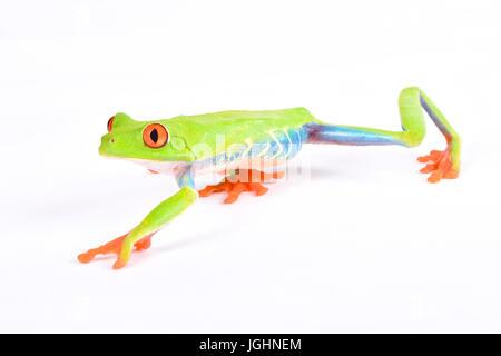 Agalychnis callidryas, Red-eyed treefrog - Stock Photo