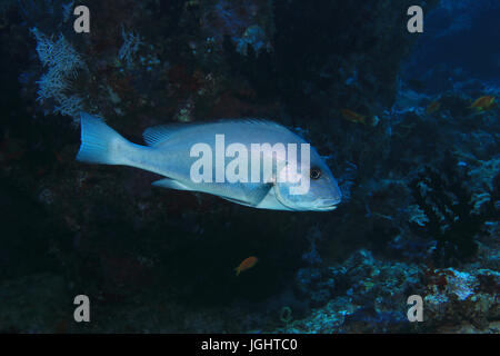 Goldspotted sweetlips fish (Plectorhinchus flavomaculatus) underwater in the tropical coral reef indian ocean - Stock Photo