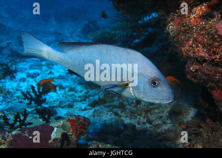 Goldspotted sweetlips fish (Plectorhinchus flavomaculatus) and cleaner fish underwater in the tropical coral reef - Stock Photo