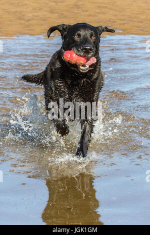 Southport, Merseyside. Doggies Day Out. 8th July 2017. UK Weather.  Gorgeous 8 year old black Labrador 'Spencer' - Stock Photo
