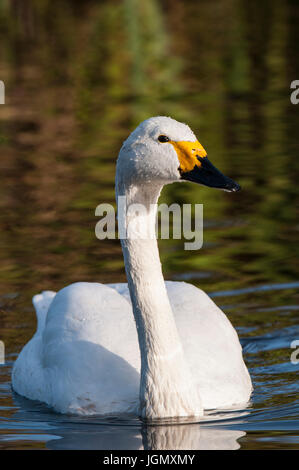An adult Bewick's swan (Cygnus columbianus) swimming in a pool at the Wildfowl and Wetlands Trust's Martin Mere - Stock Photo
