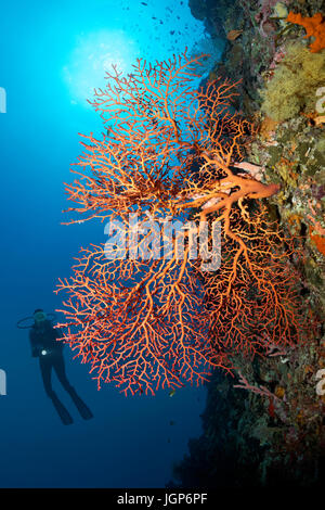 Diver at coral reef wall viewing red sea fans (Gorgonacea), sun, backlit, Palawan, Mimaropa, Sulu Lake, Pacific - Stock Photo
