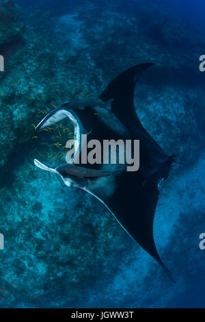 Giant manta being cleaned of parasites by small yellow labrid fish, Cancun, Mexico - Stock Photo