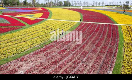 Harbin, China's Heilongjiang Province. 11th July, 2017. The sea of flowers attract visitors in Harbin, capital of - Stock Photo