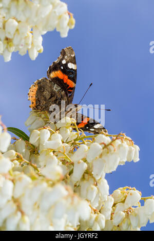 Red Admiral butterfly (Vanessa atalanta) adult basking on Pieris japonica flowers in a garden. Powys, Wales. March. - Stock Photo