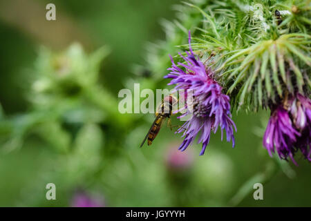 Hoverfly on purple Scottish thistle flower - Stock Photo