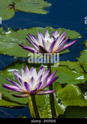 Two purple white flowering Water Lilies in pond - Stock Photo