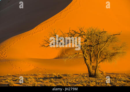 Acacia tree below the giant Sand Dune 45, Sossusvlei, Namib-Naukluft National Park, Namibia, Africa - Stock Photo