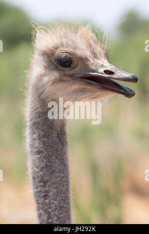 Ostrich in Ostrich Safari Park, Oudsthoorn, South Africa, Africa - Stock Photo