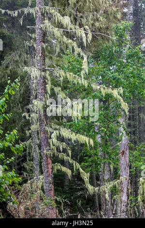 Spruce trees covered with Usnea lichen, 'Beard Lichen', that thrives along the coast of Maine, United States. - Stock Photo