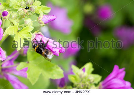 Bombus terrestris on Malva sylvestris buff tailed bumblebee large earth bumblebee on  common mallow wilde Malve - Stock Photo