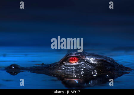A young alligator learns to fend for itself in the Florida Everglades. Mother alligators will guard their young - Stock Photo